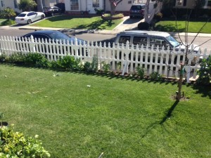 This front yard has cabbage, escarole and celery growing inside the fence