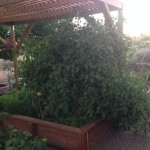 A dusty side-yard became a lush tomato garden with the construction of a planter box and arbor